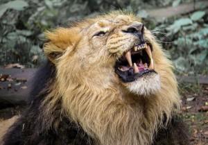 leijona_lion-976389_640