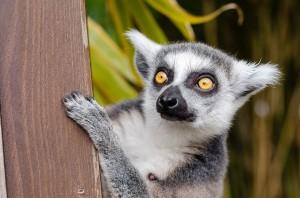 pelokas_lemur-1045220_960_720