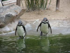 kollegat_penguin-2505_960_720